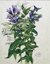 Dovetail-gentian-blue-white